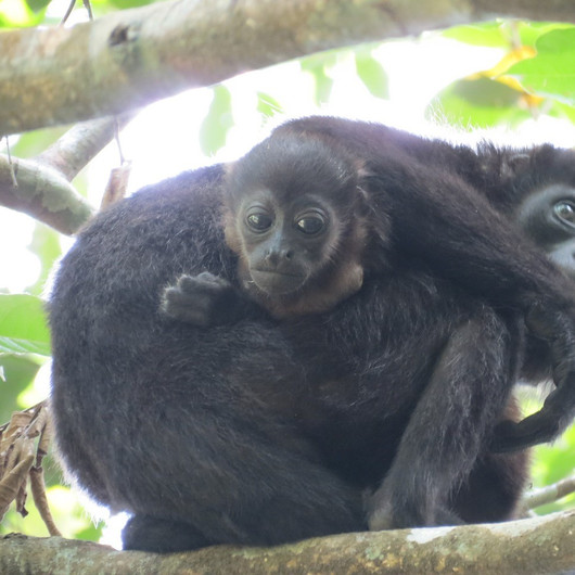 Baby & mother Howler monkey