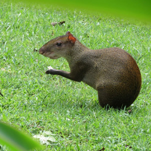 Agouti at lunch