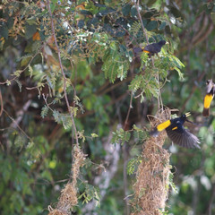 Two Yellow-rumped Cacique in flight