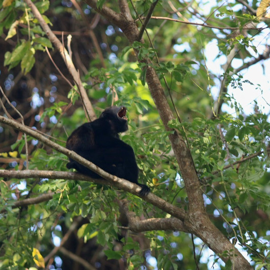 Handsome howler monkey howling