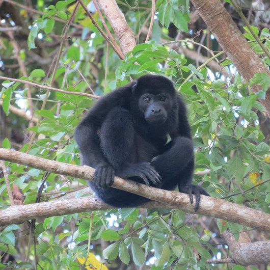 Tranquil howler monkey