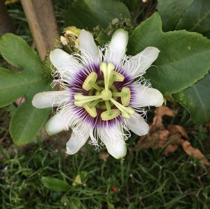 Passiflora (passion fruit)