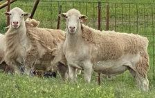 Royal White Stud Bucks