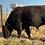 Thumbnail: Angus Bull- Two year old- 921