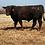 Thumbnail: Angus Bull- Yearling -023