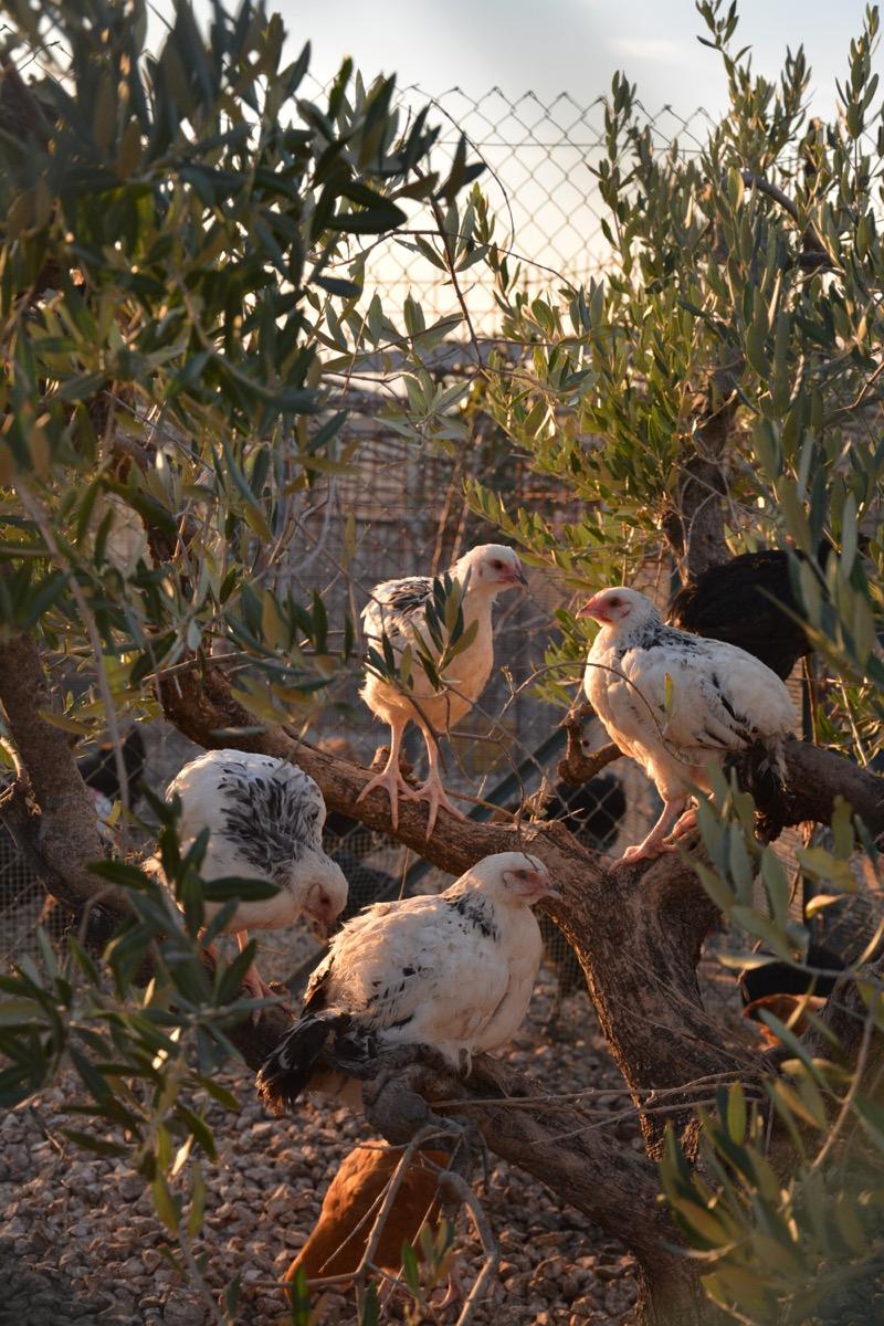 Paradiso dei Polli