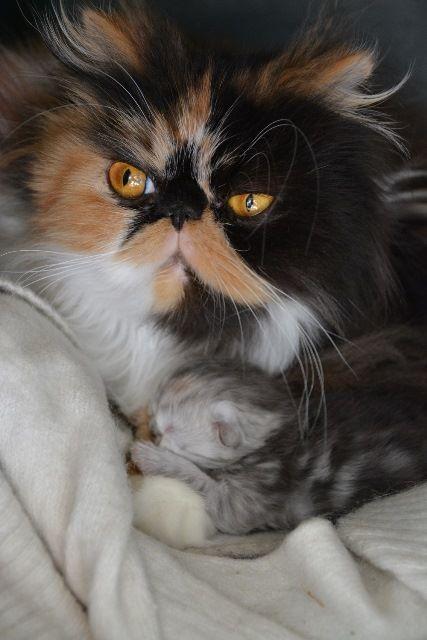 I nostri gatti persiani