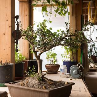 I bonsai dei Monaci