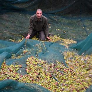 Olive e olio dei Monaci