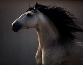 Spanish Stallion running