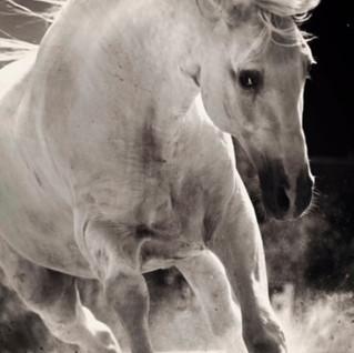 White Spanish horse