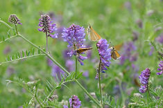 Insects like butterflies, bees, as well as birds and bats are all part of a healthy Native Roof