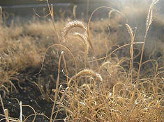 Native grasses on green roof