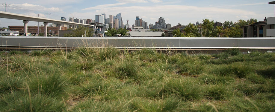 Spring Calgary green roof with native prairie grasses in Calgary