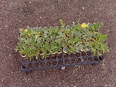 Flowering green roof plugs ready to be planted