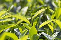 KapiTea Premium White Tea, Health Benefits, High Antioxidant, Weight Loss