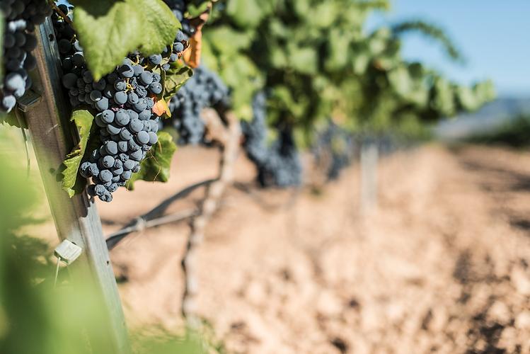 uva-vino-sicilia_edited.png