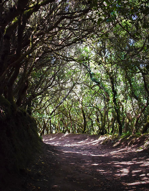 Green Forest in the Anaga Rural Park
