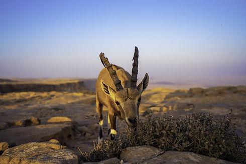 Wildlife in the Negev Desert (Israel)