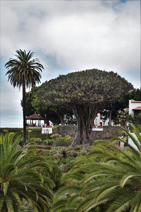 The Dragon Tree on Tenerife