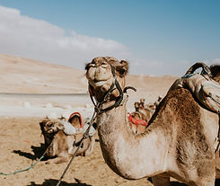 Camels in the Negev Desert in Israel