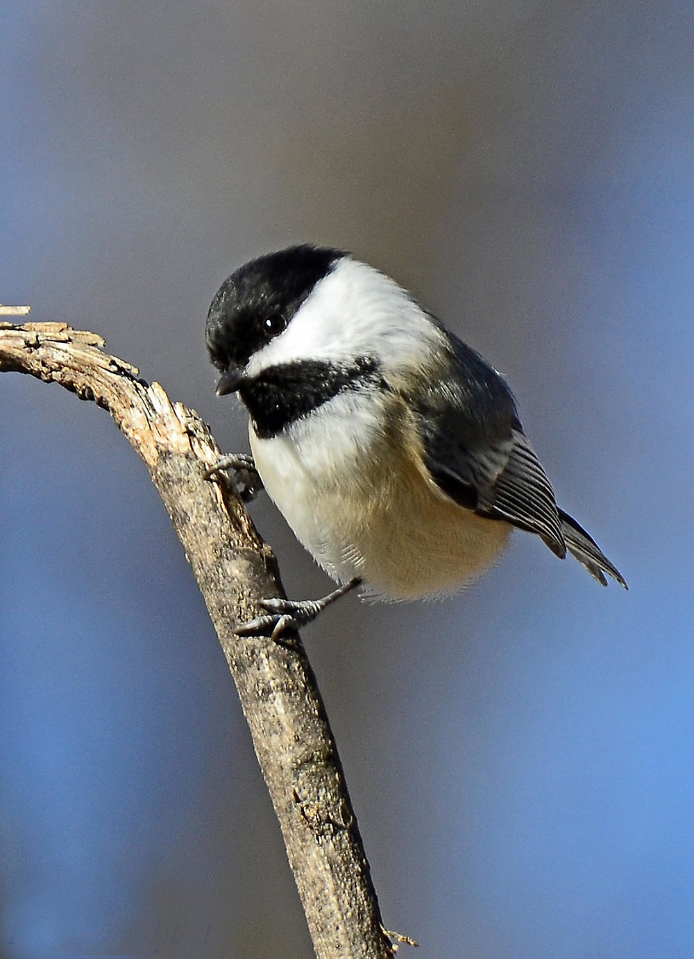 Black capped chickadee on a branch