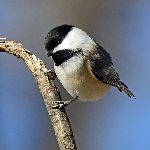 Understanding the Language of Chickadees