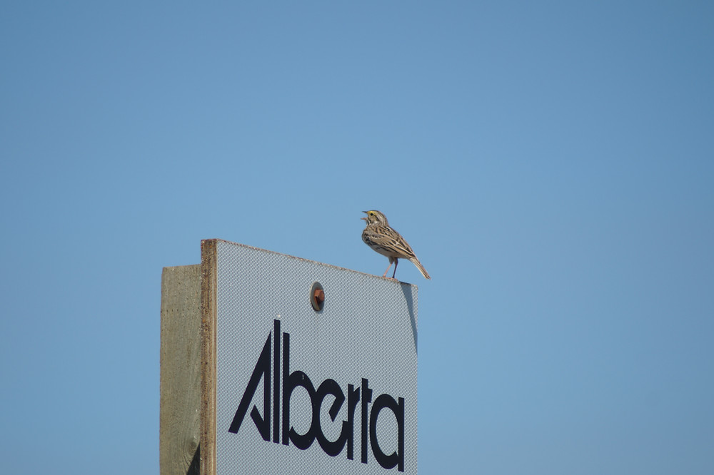 Song Sparrow Alberta; what impact does human noise have on songbirds?