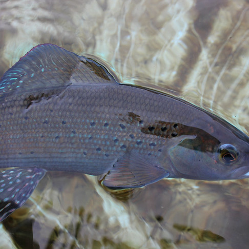 What Factors Threaten Alberta's Arctic Grayling?