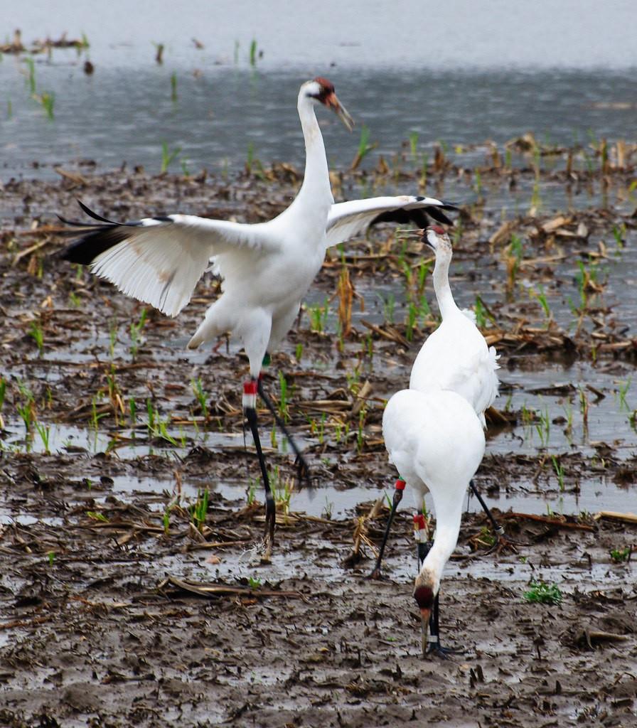 Whooping Crane Dancing