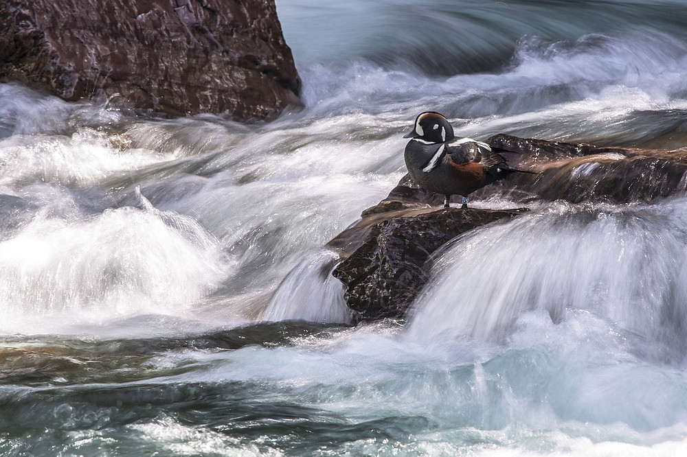 Harlequin duck in white rapids. Amazing duck of the Alberta Rocky Mountains