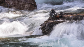 The Harlequin Duck: The Costumed Duck of Swift Mountain Streams
