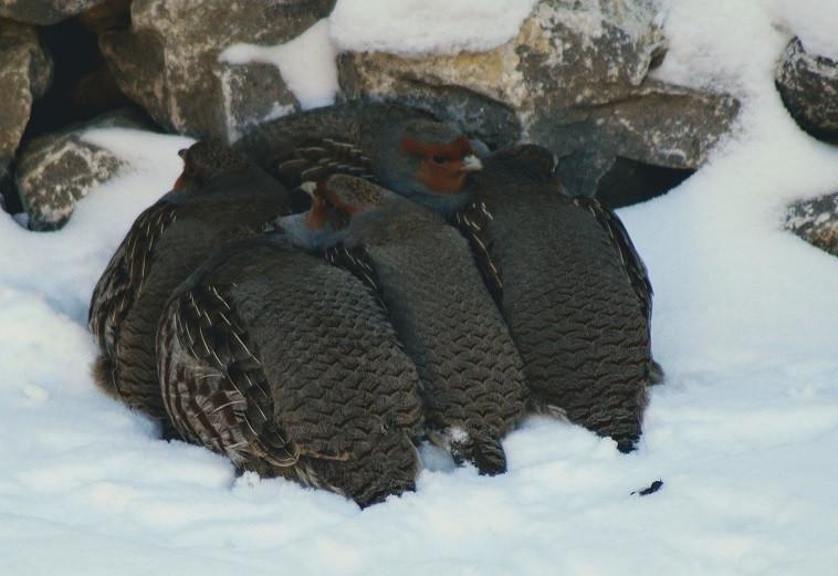 Five gray partridges huddled together