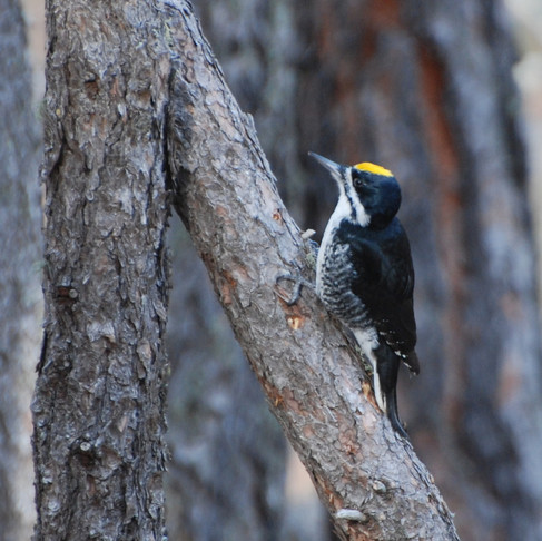 Black-Backed Woodpeckers: Burned Forest Specialists