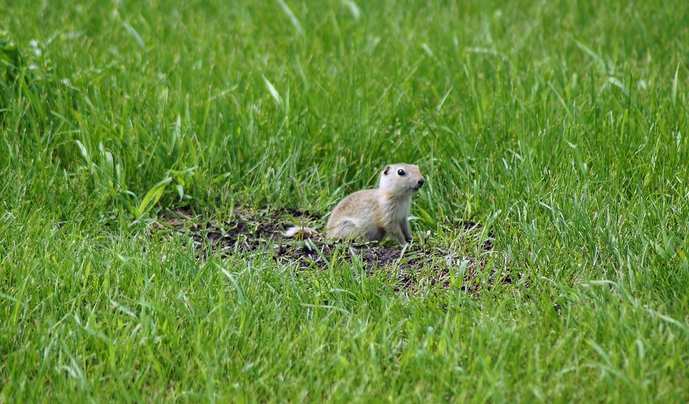 Alberta Richardson's Ground Squirrel