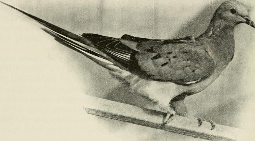 Passenger Pigeon — Taken circa 1899