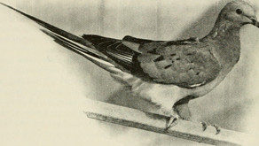The Passenger Pigeon's Story: What Can We Learn from Its Extinction?
