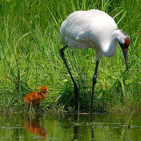 The Teck Frontier Mine: Threat to the Endangered Whooping Crane?