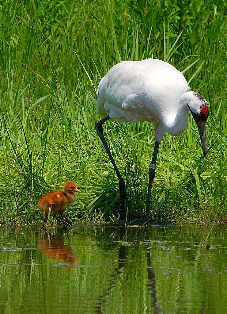 Whooping Crane and Chick