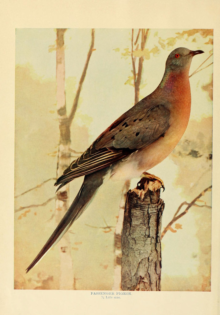 Passenger Pigeon — Birds that hunt and are hunted, New York: Doubleday, Page & Co.,1902, c1898.