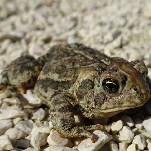 The Decline of the Canadian Toad