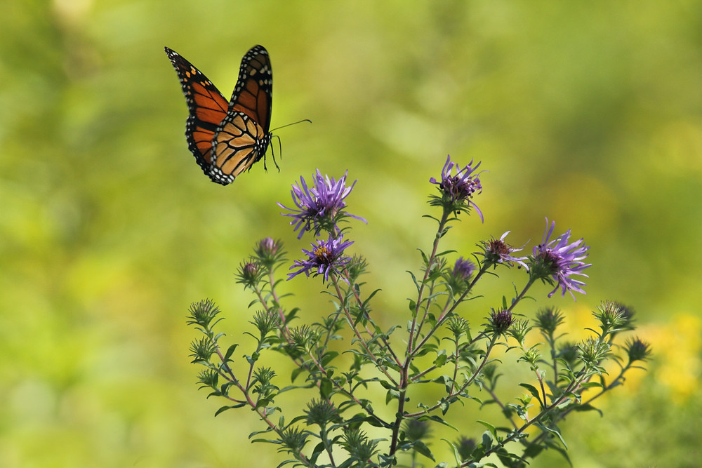 Monarch butterfly on thistle
