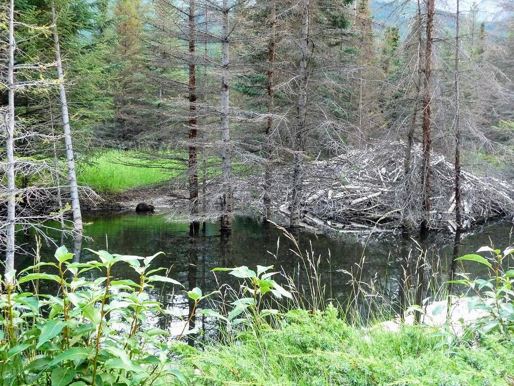 Beaver beside lodge