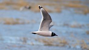 Franklin's Gulls of Big Lake