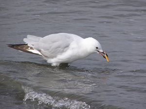 Red-billed gull with cigarette