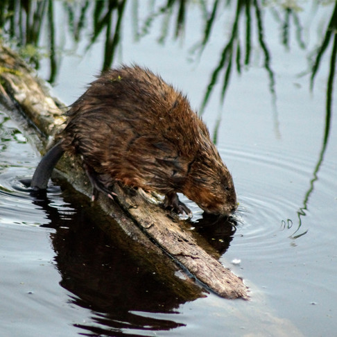 Beaver Architecture 101: How to Build a Lodge