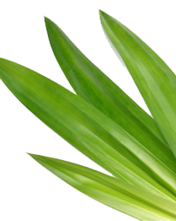 fresh-green-pandan-screwpine-leaves-260n