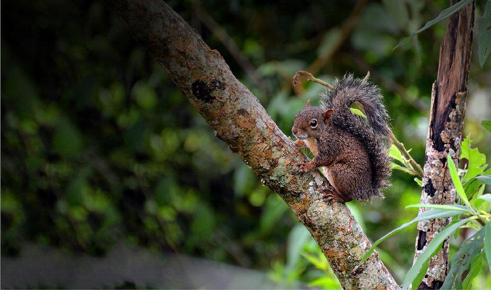 Caxinguelê Esquilo Promutuca Sustentabilidade Preservação Ambiental Vale do Mutuca Minas Gerais Brasil
