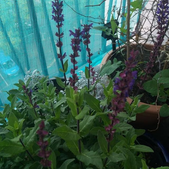 Salvia caradonna on balcony