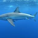 sharkdives_compton.png